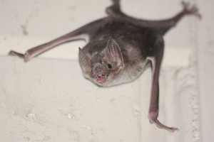 Common_vampire_bat,_Desmodus_rotundus